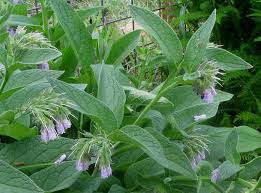 common20comfrey-1