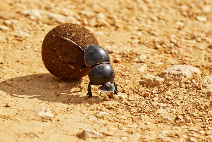 beetle-rolling-poop